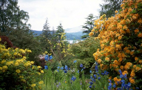Meconopsis blue poppies and golden Azalias in the Lakeland Horticultural Society's Holhird gardens with Lake Windermere and the Langdale Pikes in the distance, Cumbria, UK
