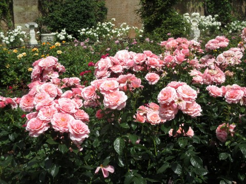"A rose called ""Ticked pink"" in the rose garden of Hever Castle, Kent."